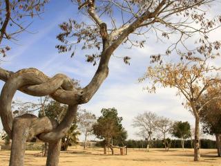 обои Пара связаных деревьев фото
