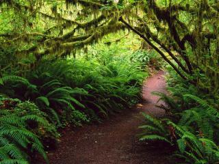 обои Трoпинка в лесу с папоротниками фото