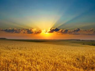 обои Солнце перед закатом над пшеничным полем фото