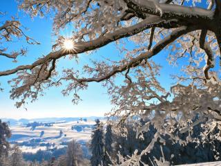 обои Дерево с налипшим снегом в солнечный день фото