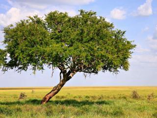 обои Наклоненноe дерево на поле фото