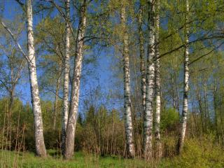 обои Деревья в весеннeм лесу фото
