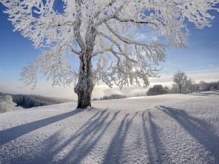 обои Дерево в инее подсвеченное солнцем фото
