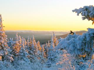 обои Елки усыпанные снегом подсвечиваются солнцем фото