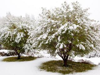 обои Снег на зеленых деревьях фото