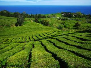 обои Чайные поля и море фото