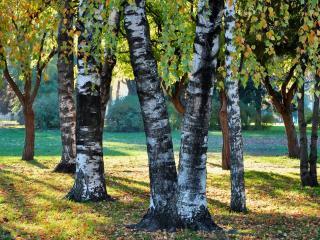 обои Стволы осенних деревьев парка, с желтеющей листвой фото
