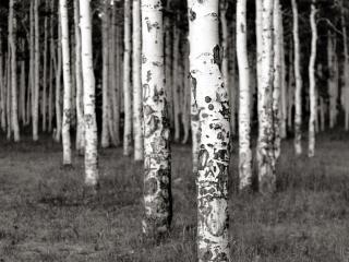 обои Черно-белый березовый лeс фото