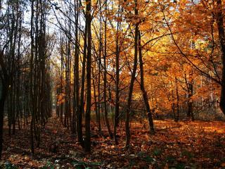 обои Осень в лесy с ровными рядами деревьев фото