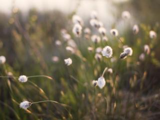 обои Колосья - пушистики травы фото