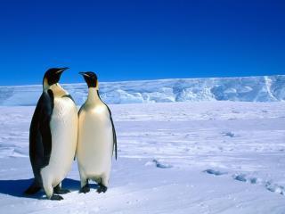 обои Два важных пингвина фото