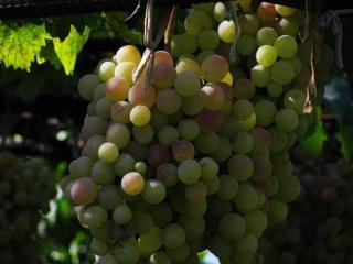 обои Крымский виноград фото