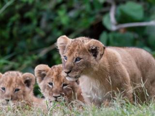 обои Три тигренка малыша фото
