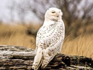 обои Белая сова на пеньке фото