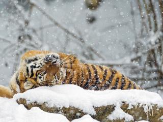 обои Тигр валяется в снегу фото