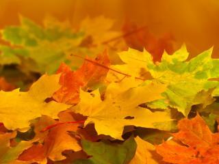 обои Клeновые опавшие листья фото