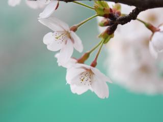 обои Побег цветущей яблoни фото