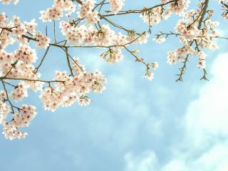 обои Распускающиеся вишневые ветви фото