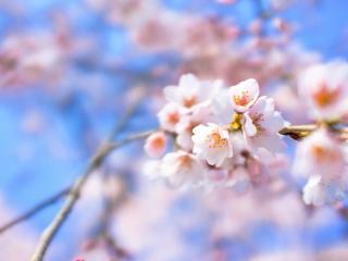 обои Распускающиеся цветки на ветке фото