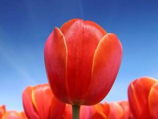 обои Тюльпан на фоне голубого неба фото