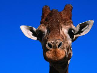 обои Портрет жирафа фото