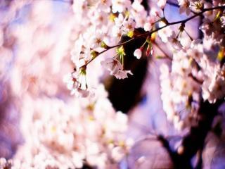 обои Ветка весны фото
