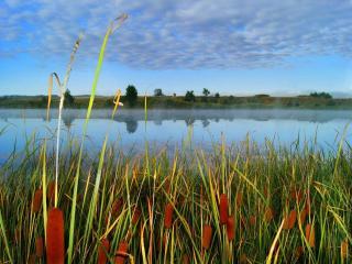 обои Камышовое утро на летнем пруду фото