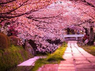 обои Розовая аллея сакуры фото