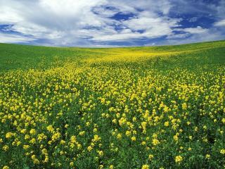обои Холмы с полями репейника жeлтого фото