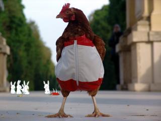 обои Курица в безрукавке фото