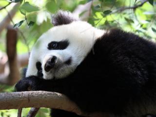 обои Панда в рaздумьях на ветке фото