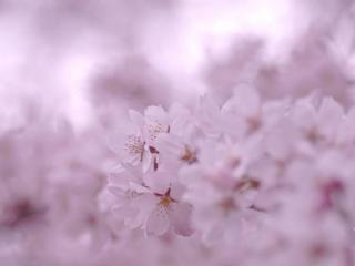 обои Нежность весеннего цветения фото