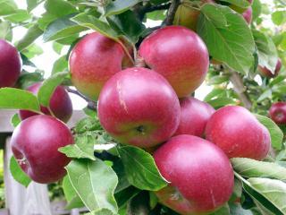 обои Ветки полодовитой яблони фото