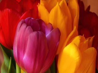 обои Крупные тюльпаны фото