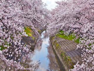 обои Сиреневая весенняя сакура над городским прудом фото
