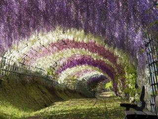 обои Туннель глициний,   Япония фото