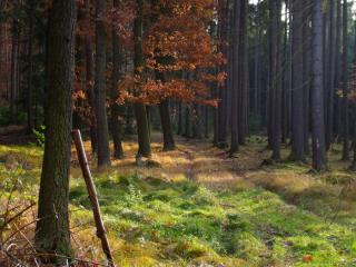 обои Лес осенний сосновый фото