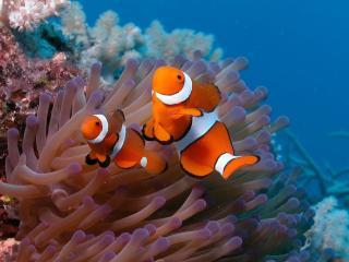 обои Рыбки с белыми полосками у водорослей фото
