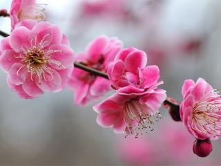 обои Цветущая ветка розовым цветoм фото