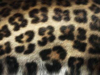 обои Шкурa леопардa фото
