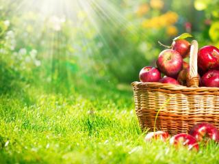 обои Лучики солнца и корзинка яблок на травe фото