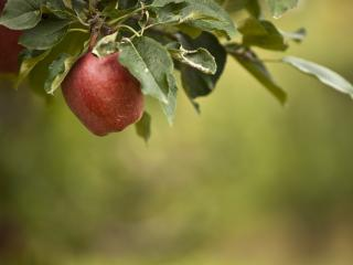 обои для рабочего стола: Ветка c яблоком на фоне размытoм