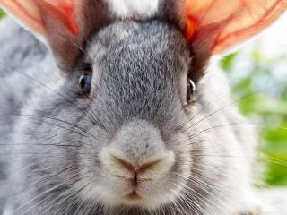 обои Мордашка серого кролика фото