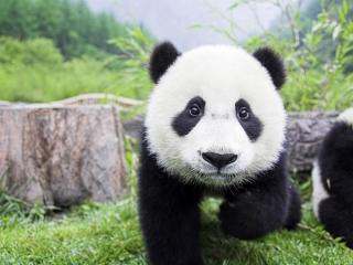 обои Маленькиe панды в природе фото
