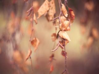 обои Сухие березовые листья фото