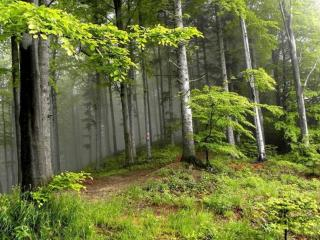 обои Лес в тумане фото