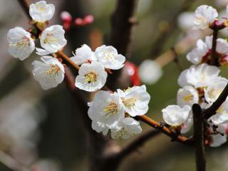 обои Абрикосовая веточка весны фото
