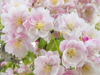 обои Весенние цветы фруктовые фото