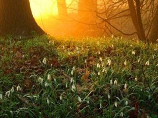 обои Подснежники и солнце в весеннем лесу фото