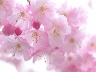 обои Розовая нежность весны фото